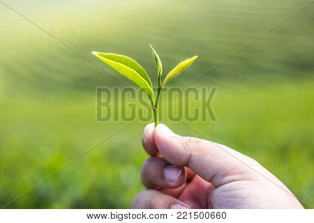 Hand holding green tea leaf with green tea plantation background texture