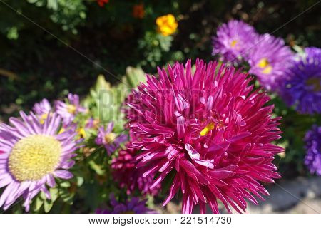 Cerise red flower head of china aster