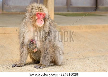 Macaca fuscata mother monkey hugged her young baby sitting on the ground at Iwatayama Monkey Park of Arashiyama town in Kyoto prefecture, Japan.