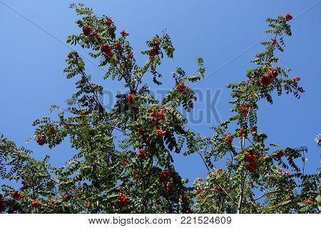 Branches of rowan tree against blue skies