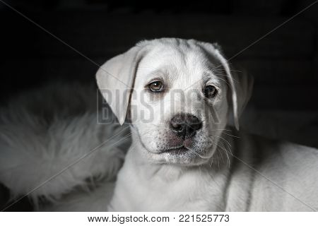 little sweet young labrador retriever dog puppy looks pretty after a nap