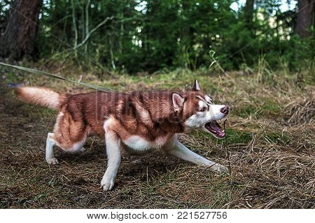 Dog pulls the leash and wants to bite. Siberian husky with red hair walks in the woods.