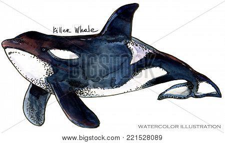 Killer Whale hand draw watercolor illustration. Polar animal