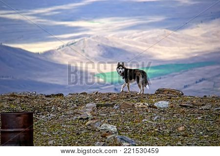 Dog on a mountain pass. Siberian husky in the background of the Kurai steppe, which lies 1000 meters below the pass the Teacher in Altai mountains. The play of light and shadow.
