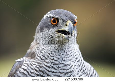 A Northern Goshawk With A Green Background