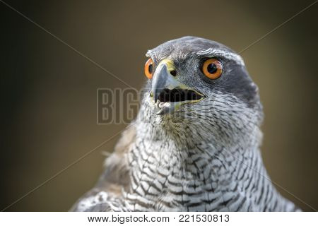 A Northern Goshawk Close Up With An Autumn Colored Background