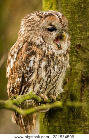 Tawny owl hidden in the forest. Brown owl sitting on tree stump in the dark forest habitat with catch. Beautiful animal in nature. Bird in the Sweden forest. Wildlife scene from dark spruce forest.
