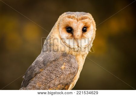 Barn owl on tree stump at the evening. Beautiful bird in nature habitat. Owl, clear background. Night animal during late evening