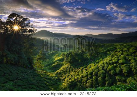 Foggy Tea Plantation At Dawn