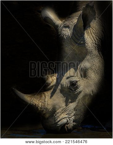 A Portrait of a rhino quenching his thirst.