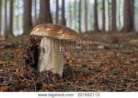 Neoboletus Luridiformis In The Natural Environment