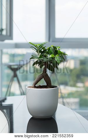 Green potted plant, tree in the pot on table against the window. Tree in a pot standing on glossy black table at modern apartment.