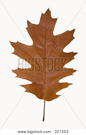 Brown Oak Leaf Isolated On White