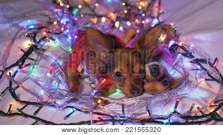 The Toy Terrier is a yellow New Year's dog. Two dogs lie ridiculously and fall asleep. They are surrounded by garlands and are dressed in children's sliders.