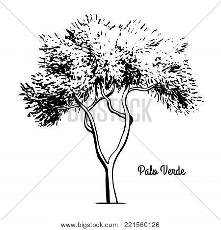 Vector sketch illustration. Black silhouette of Palo Verde or Paloverde isolated on white background. Drawing of Parkinsonia, Arizona state tree.