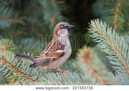 Male house sparrow, Passer domesticus, perched on a tree branch. Bird sitting on a conifer in summer. Alerted wild animal.