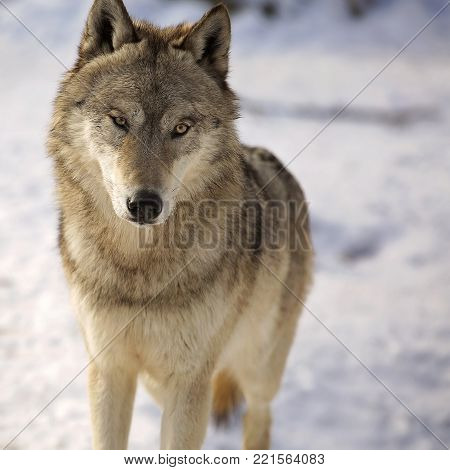 Close up, head and shoulders image of a gray wolf in winter.