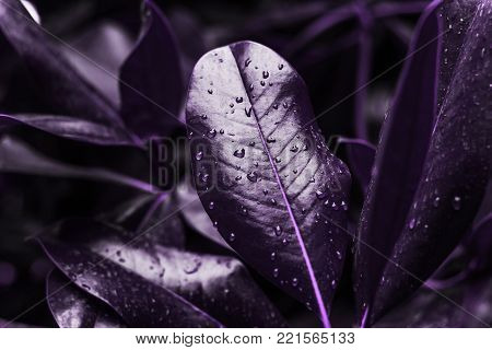 close up Magnolia leaves painted in ultra violet demonstration color  2018 Pantone