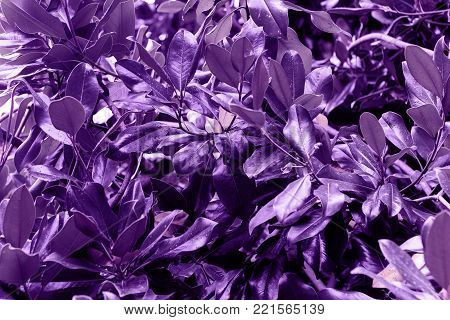 Magnolia leaves painted in ultra violet demonstration color  2018 Pantone