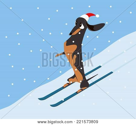 Dachshund in a red hat comes down the hillside on skis