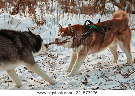 Dogs play with a stick, selecting it from each other. Siberian husky are dragging and sharing treat wooden stick. Husky dogs fight for stick.