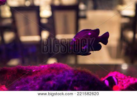 Close up beautiful violet fish swimming in aquarium in restaurant