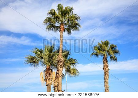Coconut palm trees at Cyprus with blue and cloudy sky background. Photo from under.