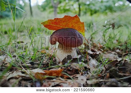 King of mushrooms - boletus edulis, porcini mushroom in the forest, fresh and tasty vegetarian food, Italian cuisine
