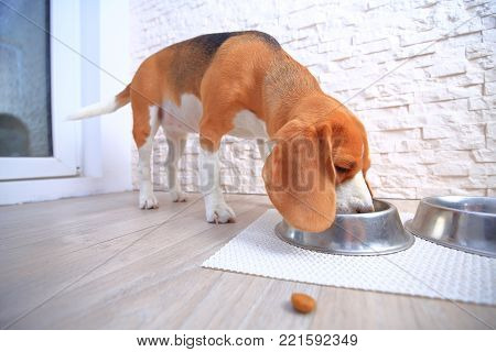 Dogs food background. Piece of dog feed on eating beagle dog backdrop.