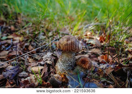 Leccinum Carpini Hornbeam Mushroom In The Forest, Fresh And Tasty Food