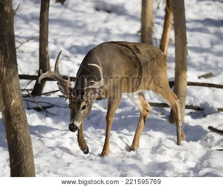 White-tailed deer buck in winter.  Small trees indicate notable rubs from rut behavior