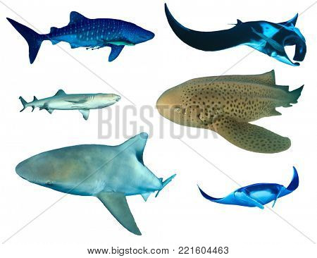 Sharks and Manta Rays isolated. Whale Shark, Oceanic Manta, Whitetip Reef, Leopard and Bull Sharks on white background