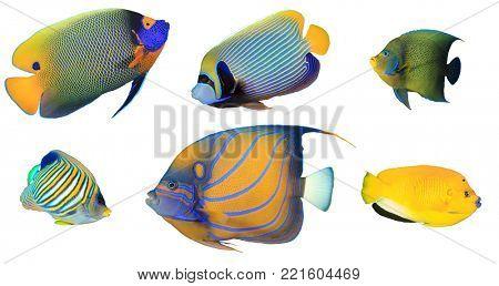 Angelfish isolated on white background. Yellowmask, Emperor, Koran, Regal, Blue ringed and Three spot Angelfish fish