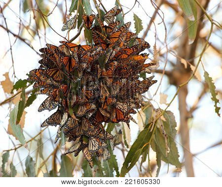 Many Monarch Butterflies in a Eucalyptus tree. The monarch butterfly may be the most familiar North American butterflyand an iconic pollinator species.