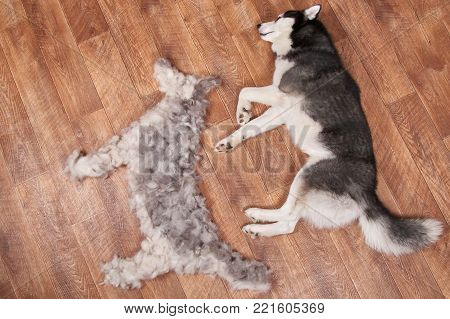 Dog lies next to the figure of a dog from combed wool. Moulting and big pile fur siberian husky. View from above.