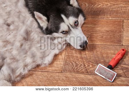 Husky dog in moulting and big pile fur with dog comb after grooming. Brush for dog hair.