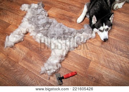 Dog lies next to the silhouette of a dog from combed wool. Moulting and big pile fur siberian husky.