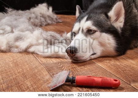 Husky dog in moulting and big pile fur with dog comb. Brush for dog hair.