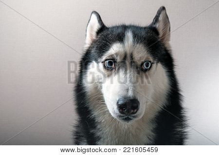 Portrait of a husky dog.  Siberian Husky with emotion of fright and anxiety on the muzzle.