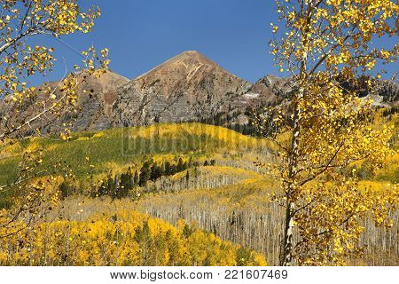 Forground aspens and hills of golden aspens along Kebler Pass near Crested Butte, Colorado