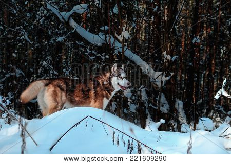 Siberian husky in winter forest. Snow covered trees and drifts with the dog.