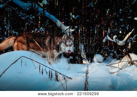 Red husky dog with a snowy muzzle sneaks in the winter coniferous forest.