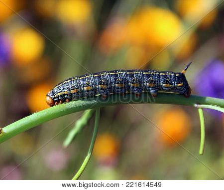 Colorful sphinx moth larvae on green branch with flowers