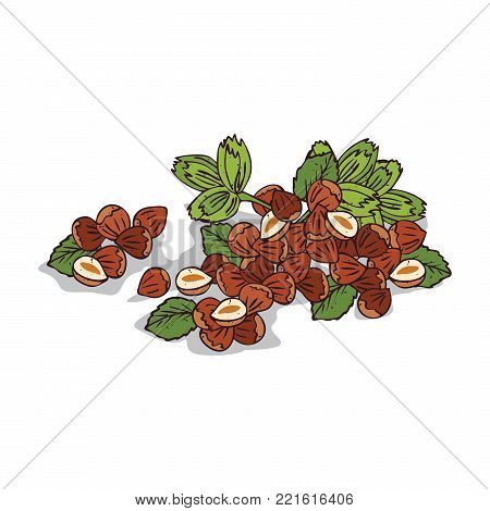 Isolated clipart of plant Hazelnut on white background. Botanical drawing of herb Hazel nuts with nuts and leaves