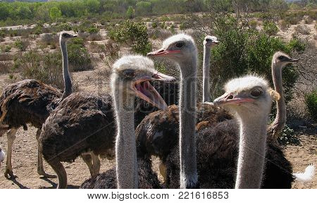 Ostrich with funny expression and open beak appears to yell at other ostriches.