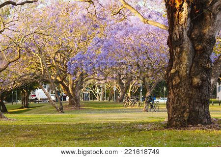 Flowering Jacaranda Trees in St Lucia,Brisbane,QLD, Australia