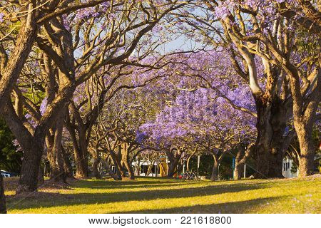 Flowering Jacaranda Trees in St Lucia,Brisbane, QLD, Australia
