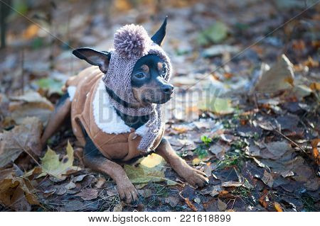 A dog, a toy terrier, a stylishly dressed little dog in a hat and a sheepskin coat, against the backdrop of late autumn. Clothes for dogs. Place for text