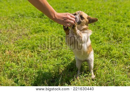 Master feeding cute small mixed breed dog that stand on hind legs