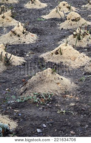 Mulching rose bushes. A lot of cropped rose bushes are strewn with wooden sawdust and stems for preservation in winter